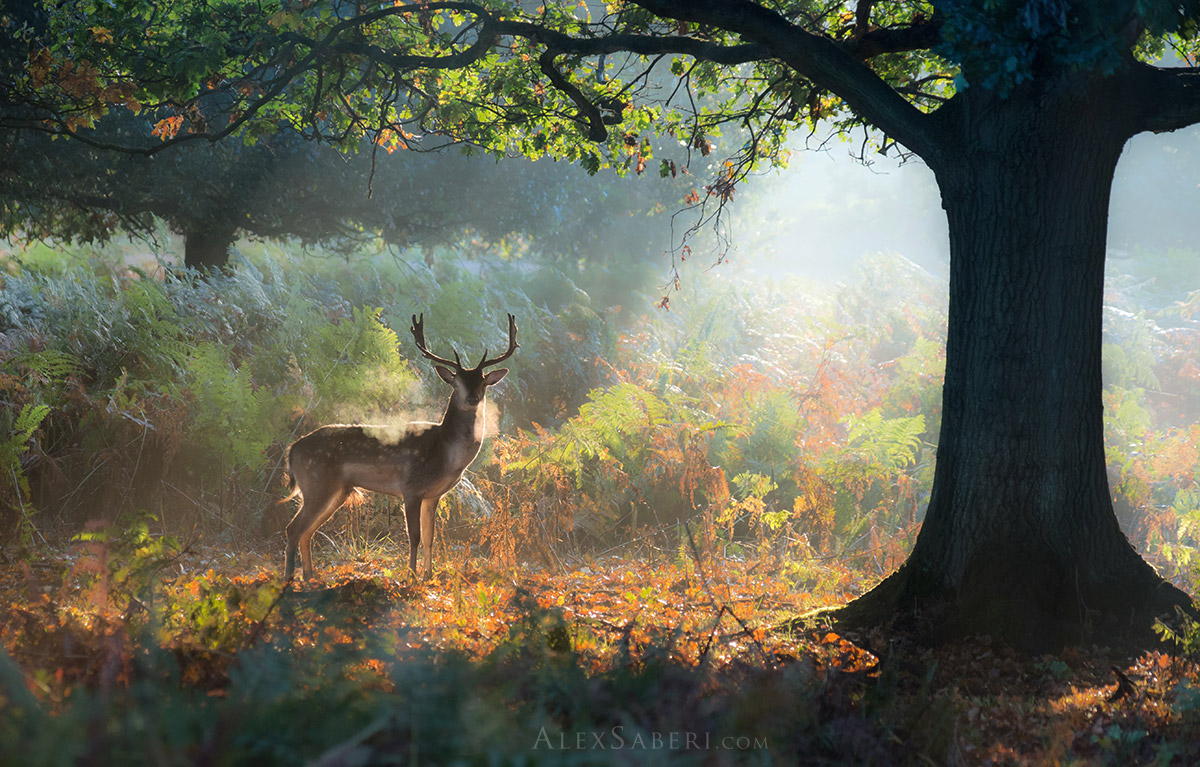 A stag after a battle in Richmond Park print
