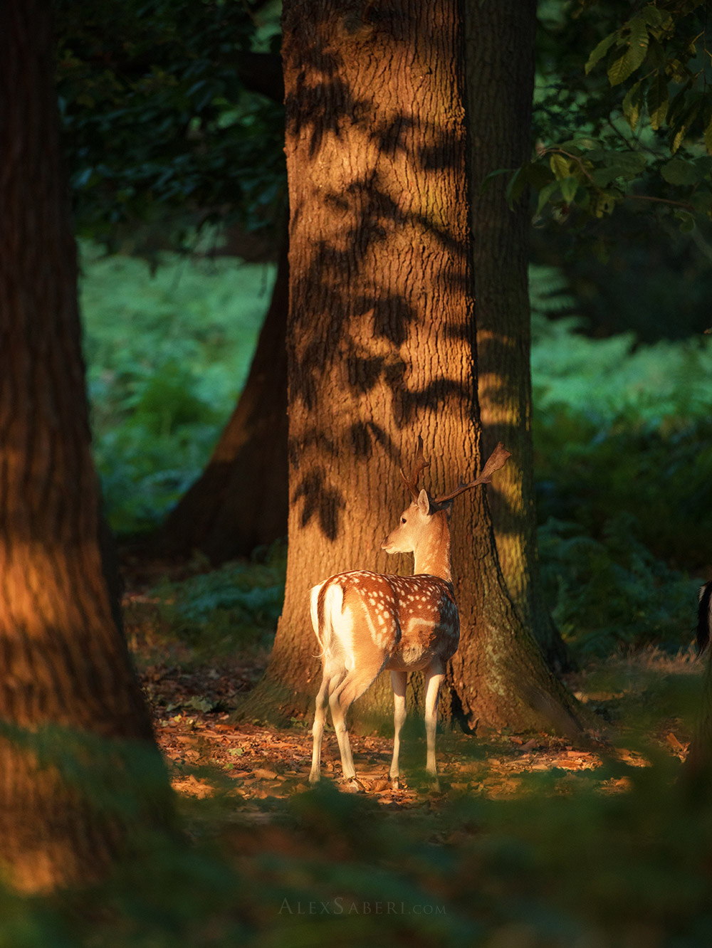 A fallow deer in the dappled forest of Richmond Park poster