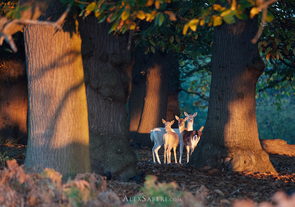 Fairytale print of deer in Richmond Park forest.