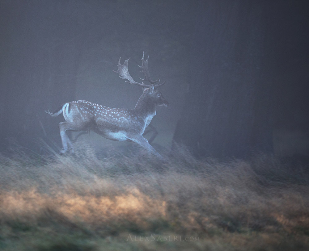 A lone fallow deer stag runs in Richmond Park print poster