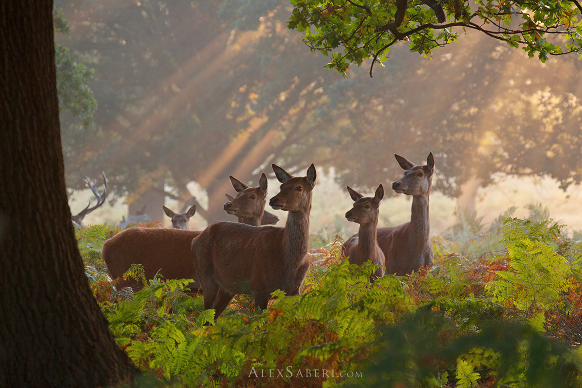 A group of female red deer in Richmond Park photo