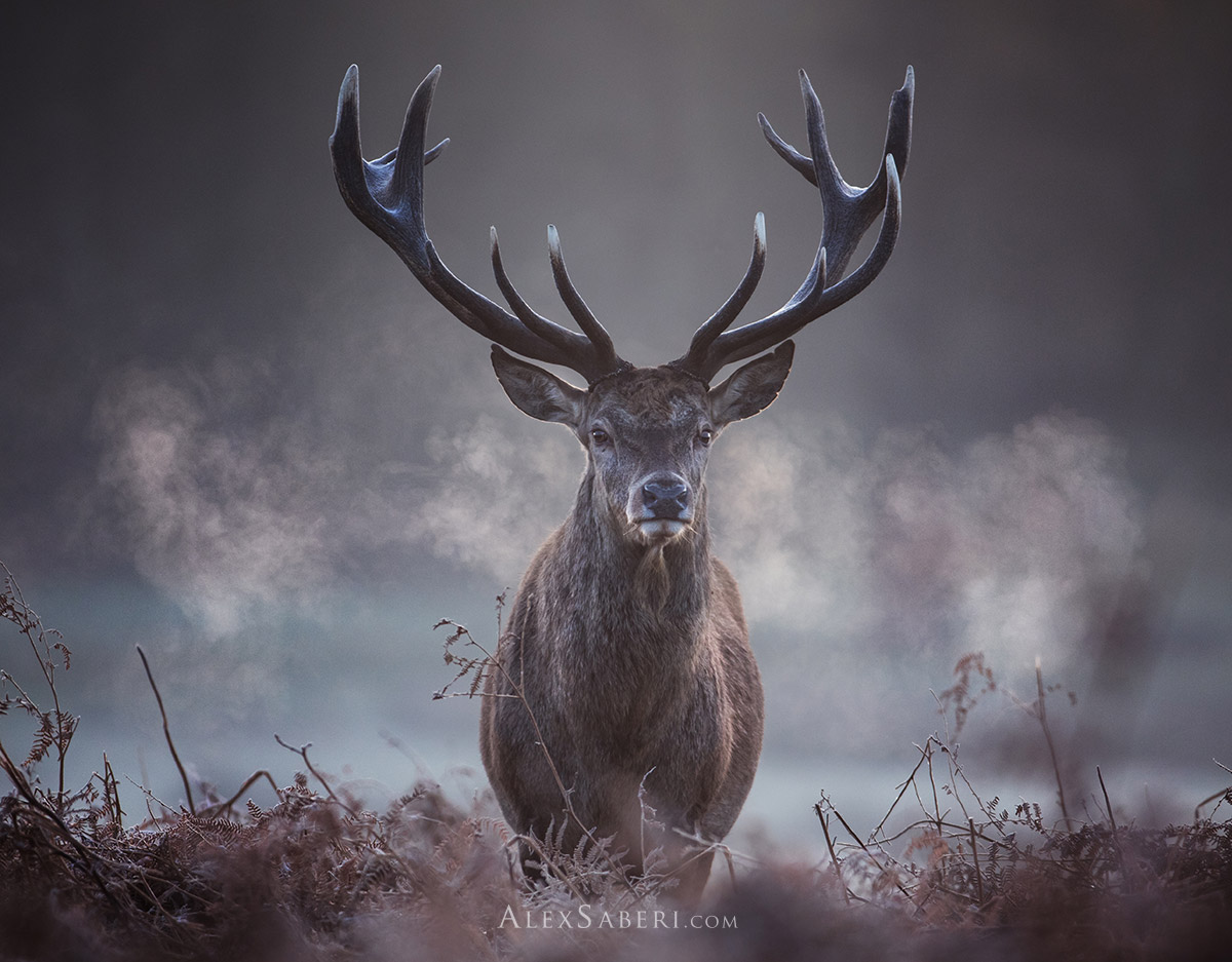 A portrait photo print of a large red deer stag in Richmond Park