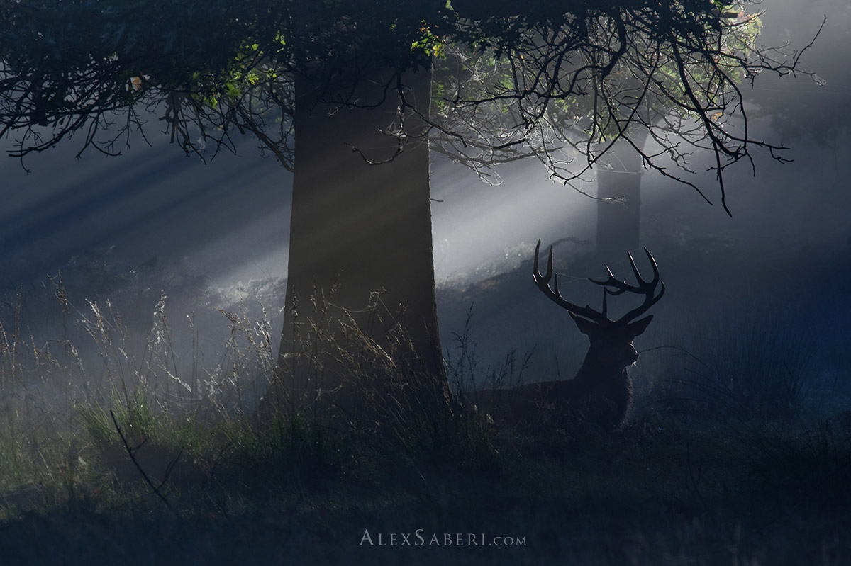A red deer stag rests in the shadows in Richmond Park photo print.