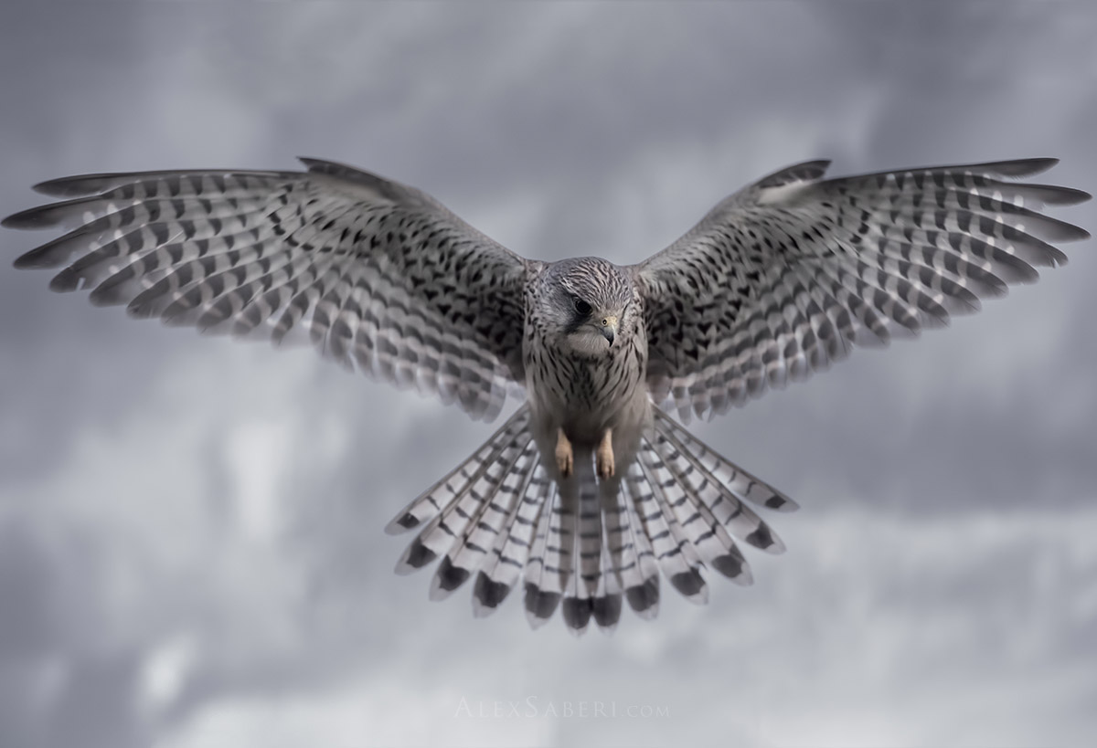 A kestrel hovers over its prey in Richmond Park photo print