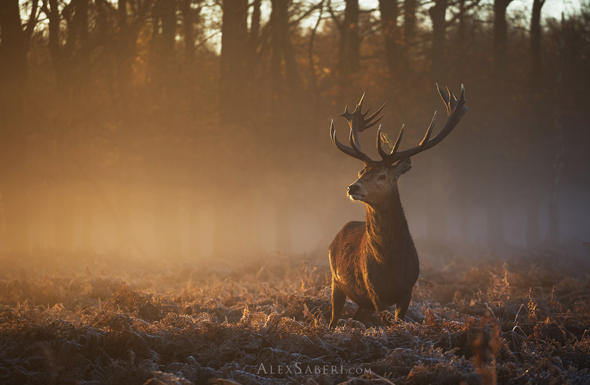 Large red deer stag poster print of Richmond Park