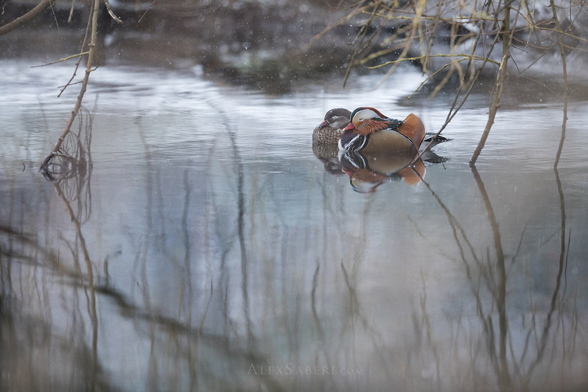 Madarin ducks sleeping in a winterey Richmond Park print.