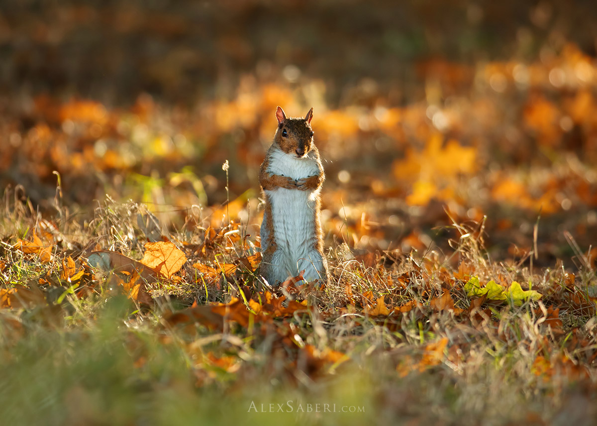 A squirrel stand on both feet in Richmond Park.