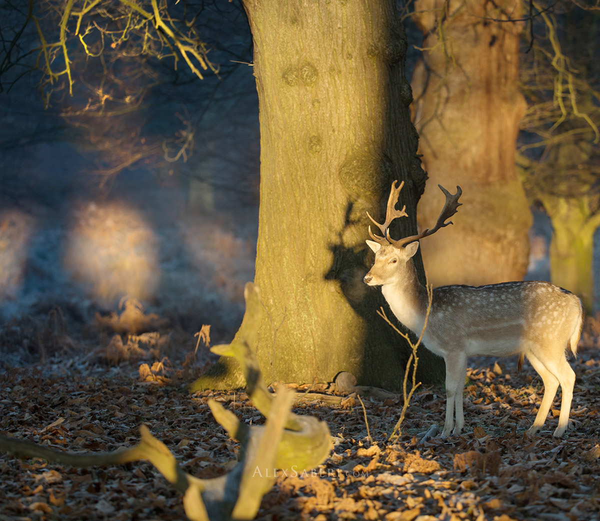A stag makes a shadow on a tree at sunrise in Richmond Park.