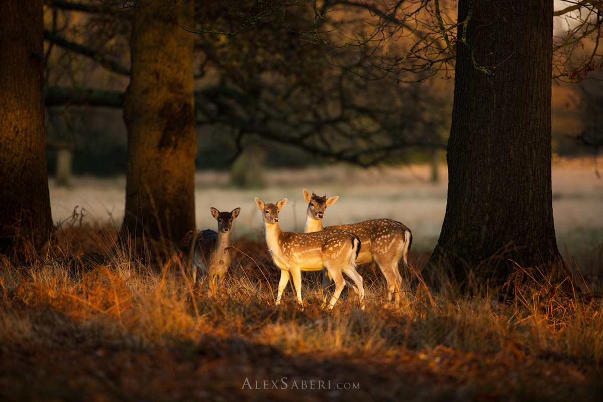 Print of a group of deer in a Richmond Park sunset forest
