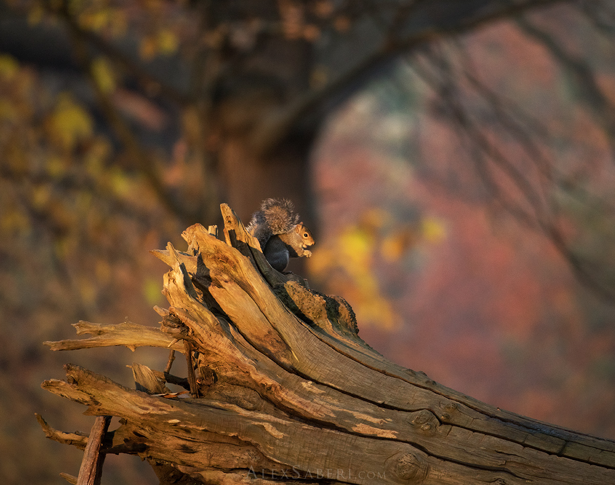 A squirrel in all the beauty of the autumn colour of Richmond Park.