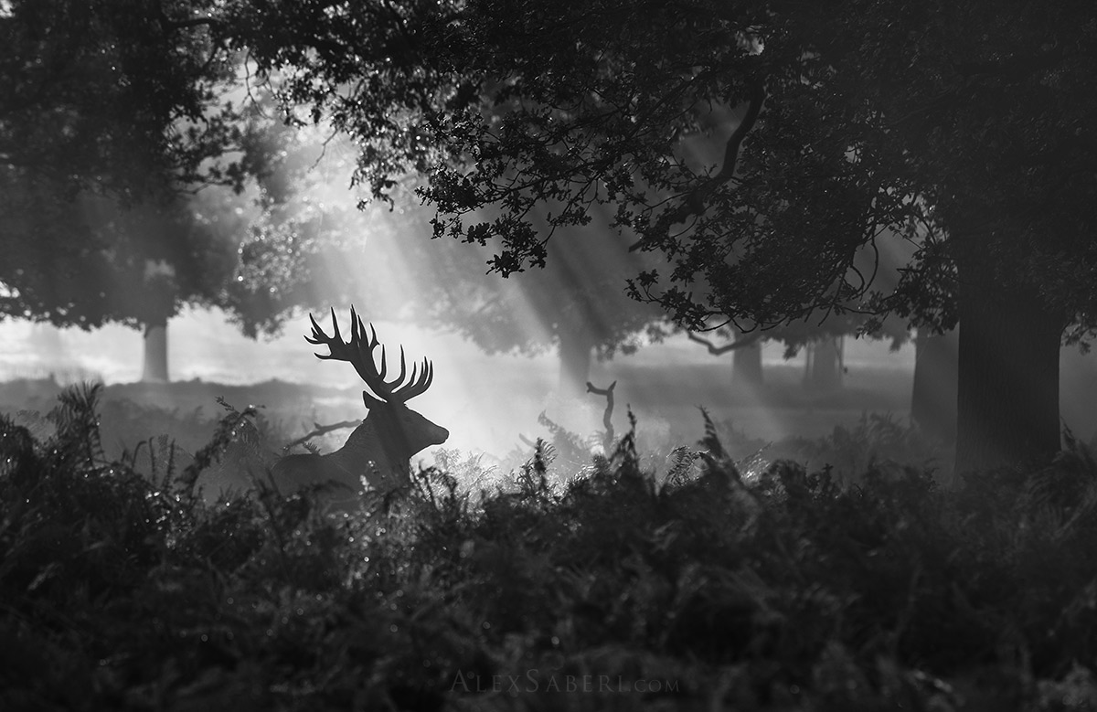 A stag in the mist print