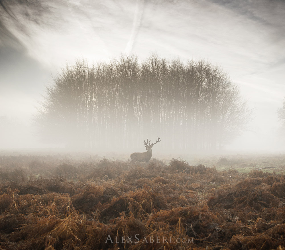 A print poster of a lone stag on Richmond Park misty landscapes.