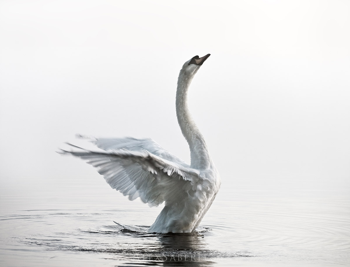 A large swan strethces out in the fog of Richmnd park print.