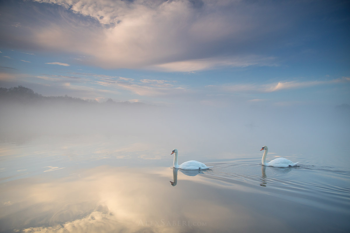 Swans on a misty pen ponds poster.