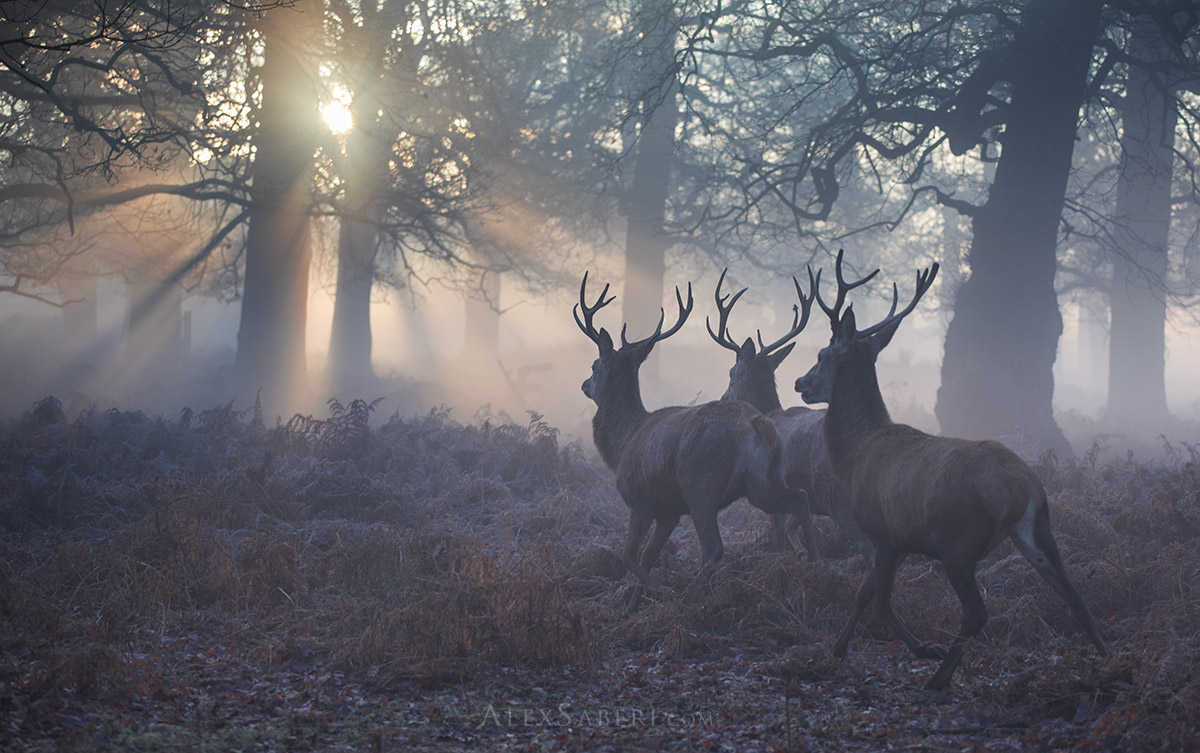 Three stags run in the Richmond Park mists print